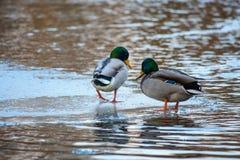 Pato que camina en el lago en invierno Imagenes de archivo