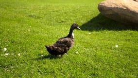 Pato que camina en hierba verde en parque almacen de metraje de vídeo