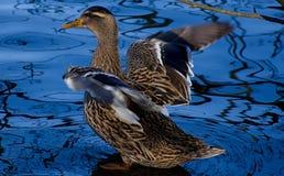 Pato que começa voar, água azul Imagens de Stock