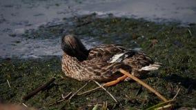 Pato que descansa sobre la orilla almacen de metraje de vídeo