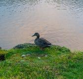 Pato que disfruta del lado del río Fotos de archivo libres de regalías