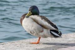 Pato que duerme en el lago imagen de archivo libre de regalías