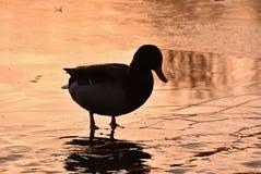 Pato que está na silhueta da lagoa Imagens de Stock