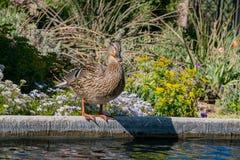 Pato que está pela lagoa em Denver Botanic Gardens fotos de stock royalty free