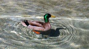 Pato que flutua na lagoa desobstruída Foto de Stock