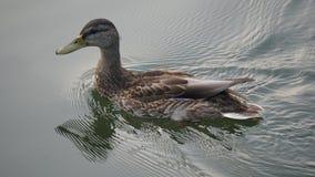 Pato que flutua na lagoa noite da reflexão da água onda Foto de Stock