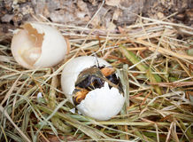 Pato que mira furtivamente fuera del huevo Imágenes de archivo libres de regalías