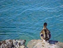 Pato que olha a água Fotografia de Stock