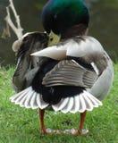 Pato que prepara en el parque de la abadía, Leicester imagenes de archivo