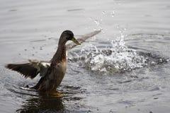 Pato que recorre en el agua Imagen de archivo