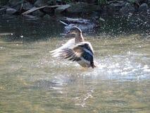 Pato que sacude del agua Imagen de archivo