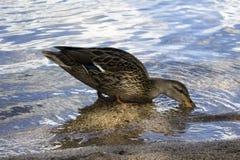 Pato que se coloca en agua Imagen de archivo