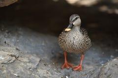 Pato que se coloca en la comida que espera de la tierra para fotografía de archivo libre de regalías