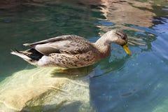 Pato que se coloca en una consumición de la roca Fotos de archivo