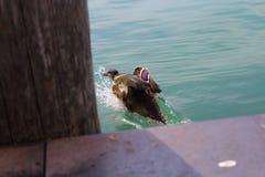 Pato que se escapa del fotógrafo Imágenes de archivo libres de regalías