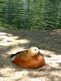 Pato que se sienta en orilla Fotos de archivo libres de regalías