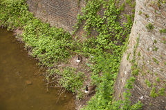 Pato que senta-se em seu ninho Fotos de Stock