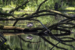 Pato que senta-se na lagoa Fotos de Stock Royalty Free