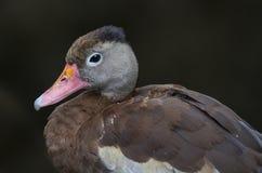 pato que silba Negro-hecho bolso Fotografía de archivo