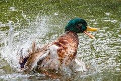 Pato que toma un baño con mucho salpicar Imagen de archivo libre de regalías
