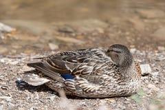 Pato que toma una siesta en la playa Fotografía de archivo