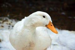 Pato real de Pekin Fotografía de archivo