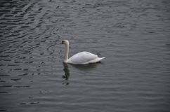 Pato real no lago!! Imagem de Stock Royalty Free