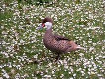 Pato rojizo blanco-chinned Imágenes de archivo libres de regalías