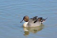 Pato rojizo en el lago Imagenes de archivo