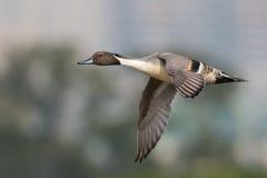 Pato rojizo septentrional Foto de archivo