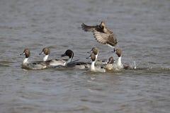 Pato rojizo septentrional, acuta de las anecdotarios, Fotos de archivo libres de regalías