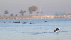 Pato rojizo septentrional que se lava en el mar limpio almacen de metraje de vídeo