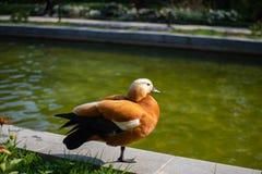 Pato rojo del color hermoso inusual en la charca en el parque que toma el sol en el sol de la primavera imagenes de archivo