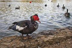 pato Rojo-dirigido Imagen de archivo