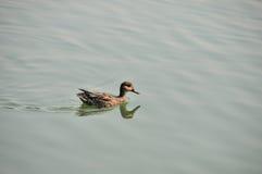 Pato salvaje Imagen de archivo libre de regalías