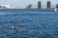 Pato salvaje Imágenes de archivo libres de regalías