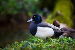 Pato salvaje Fotografía de archivo libre de regalías