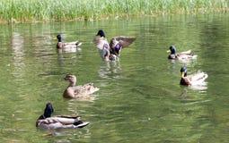 Pato salvaje Fotografía de archivo