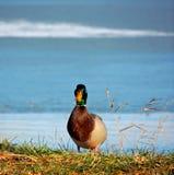 Pato salvaje Imagenes de archivo