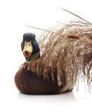 Pato salvaje alrededor del bastón imagenes de archivo