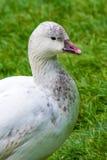 Pato salvaje blanco con el pico coloreado magenta Fotografía de archivo