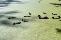 Pato salvaje con los anadones foto de archivo