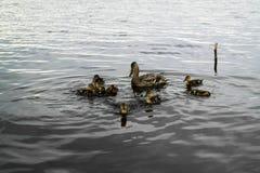 Pato salvaje con los anadones Imagenes de archivo