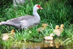 Pato salvaje con los anadones Imagen de archivo libre de regalías