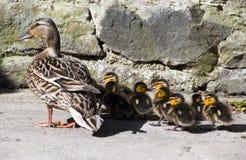Pato salvaje de la mama con el pequeño anadón lindo Foto de archivo
