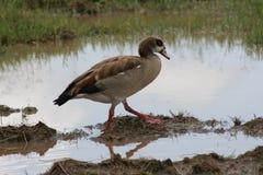 Pato salvaje de Tanzania en el lago Manyara Imágenes de archivo libres de regalías
