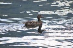 Pato salvaje del pato silvestre en Canadá imágenes de archivo libres de regalías