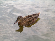 Pato salvaje en el agua Fotos de archivo