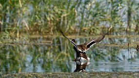Pato salvaje en el delta de Danubio imagen de archivo