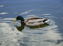 Pato salvaje en el lago Imagen de archivo libre de regalías